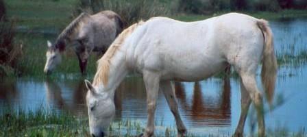 sxc Horses Drinking_web